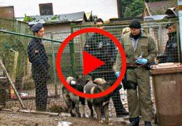 Organisierte Kriminalität! Razzia der Polizei bei Hundezüchter