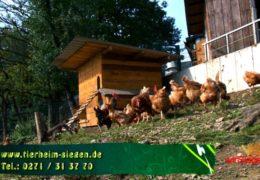 """""""Tier zu Dir!"""" – Hühner und Hähne suchen ein neues Zuhause"""